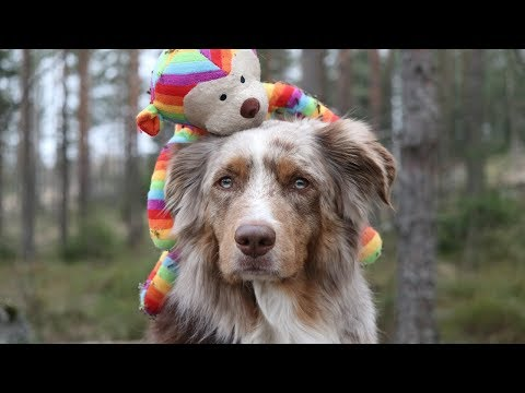 The Lifesaver | Pekka the Australian Shepherd