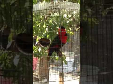 Dahsyat merdunya nyanyian burung Nuri buat Masteran