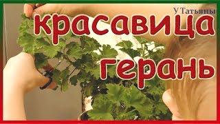 видео королевская герань (пеларгония) уход в домашних условиях: обрезка для пышного цветения (фото пошагово)