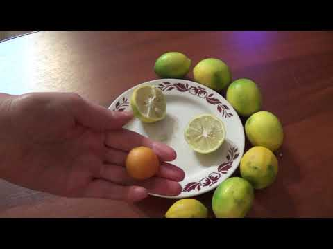 Пробую домашний лимон Лиза и кумкват.
