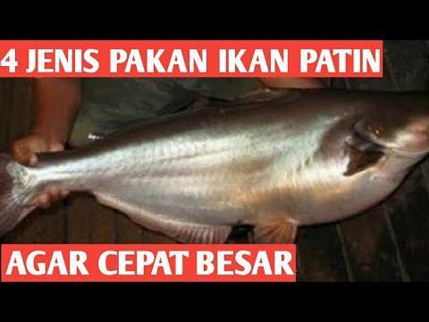Budidaya Ikan Patin 4 Jenis Pakan Alternatif Ikan Patin Agar Cepat Besar Youtube