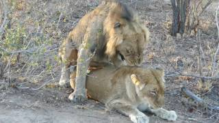 Lion Sex - Orgasm Roar is incredible