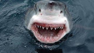 Мегалодон вымерший вид акул(Мегалодон (греч. μέγας и греч. ὀδούς — «большой зуб») — вымерший вид акул, останки которого находят в отложе..., 2014-10-12T20:40:07.000Z)