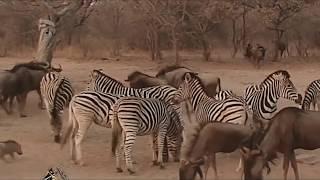 Zebra Vs Wildebeest - Not Another Bangla Commentary