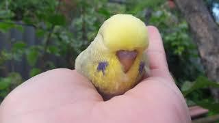 Самец или самка II Как определить пол птенца волнистого попугая в 30 дней