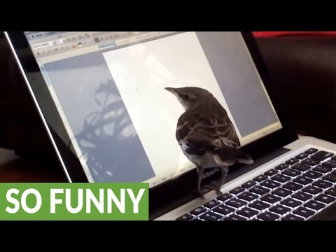 Baby mockingbird thinks laptop cursor is a bug