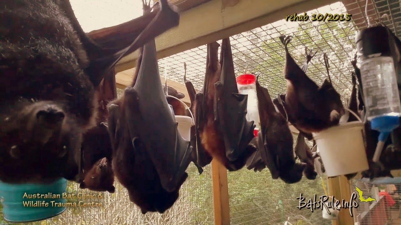 Rehab Megabats Flying Foxes Fruit Bats Youtube