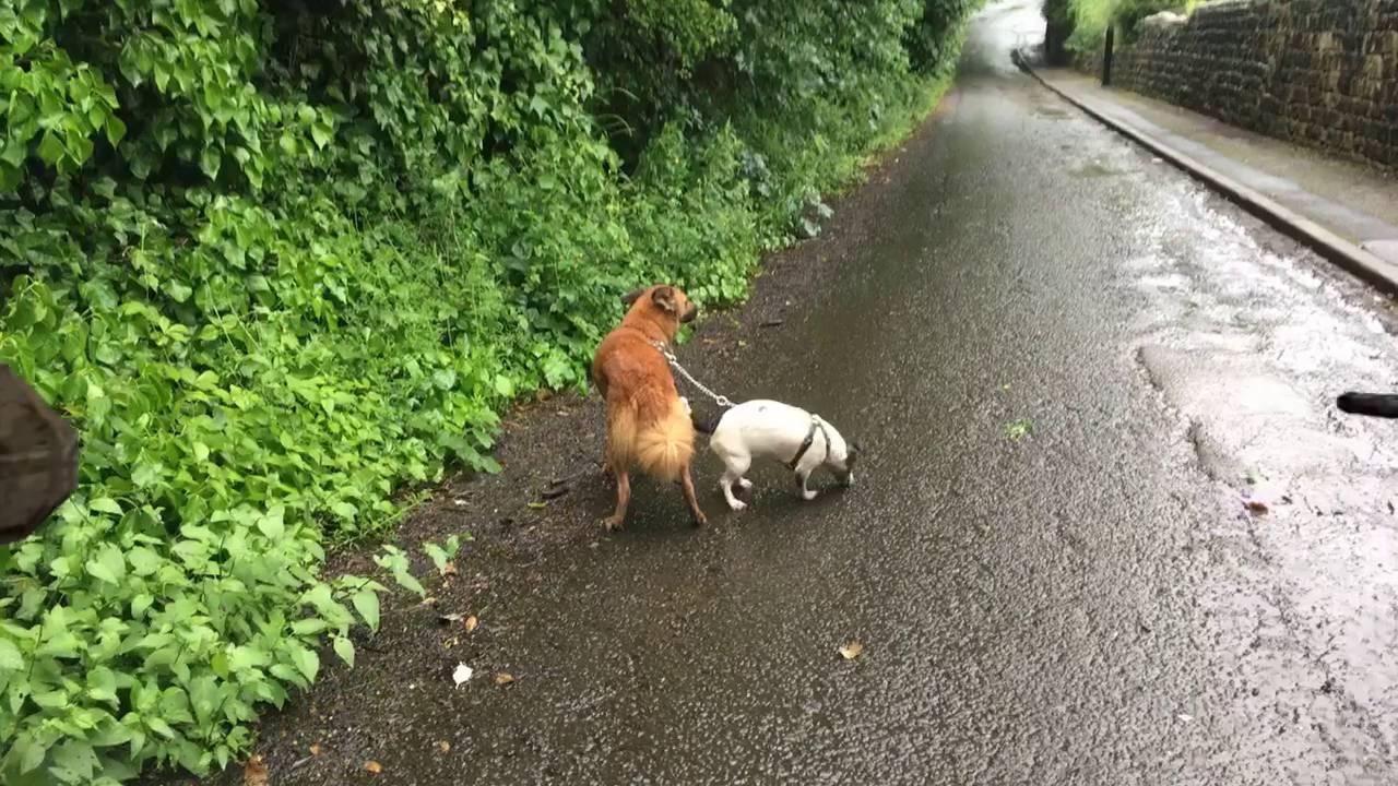 Dog walk 3