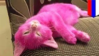 Кошка, перекрашенная хозяйкой в розовый цвет, умерла