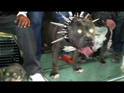 Bully Extreme Silver en Guadalajara Cel :3311728884