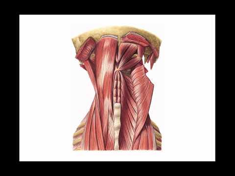 Músculos del cuello 5 - YouTube