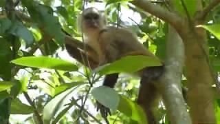 Capuchino cariblanco (Cebus albifrons)