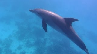Download Tauchen mit Delfin und Napoleon in Hurghada, Rotes Meer 2015; Diving with Dolphin Hurghada, Red Sea Mp3 and Videos