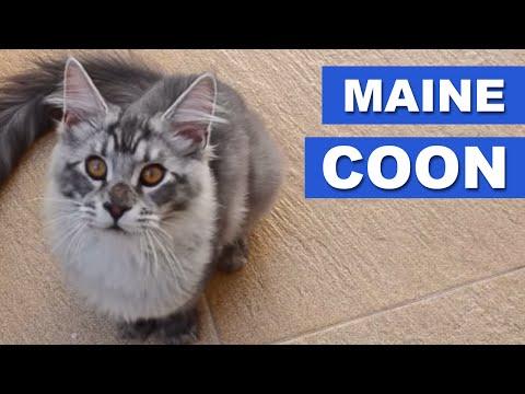 Maine Coon - Quatro Patas
