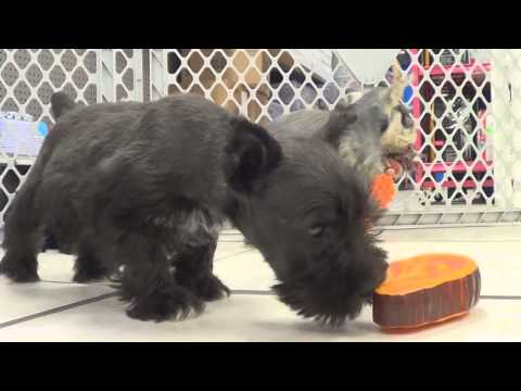 Miniature Schnauzer, Puppies, Dogs, For Sale, In New York, New York, NY, 19Breeders, Brookhaven