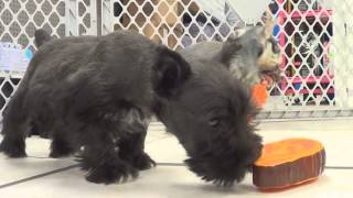 Miniature Schnauzer, Puppies, For, Sale, In, New York, City, Ny, Albany, State, Up
