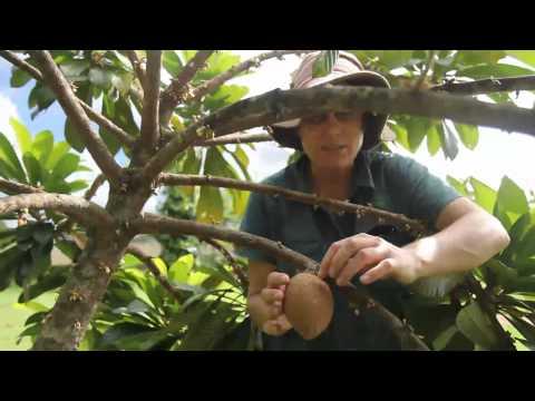 Mamey Sapote Tree - When is it ripe?
