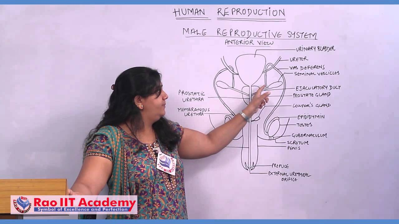 Introduction Of Male Reproductive System Neet Aipmt Aiims Zoology