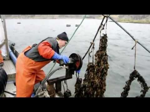 Ciona harvest at Swedish west coast. Marine feed-stock for biogas production.