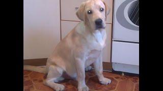 Щенок Лабрадора Разорвал вещи! Puppy Labrador retriever!