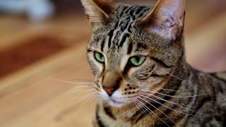 Порода кошек.  Серенгети. Большая кошка с большими ушами,средней длины хвостом и длинными лапами.