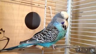 Выставочный волнистый попугай (ЧЕХ) питомник king-parrot.ru