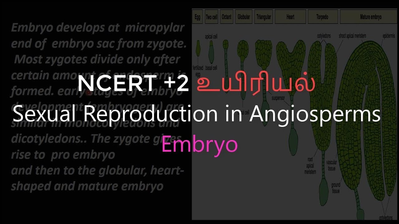 23 Biology   Sexual Reproduction in Angiosperms   Embryo