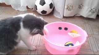 МОРСКОЙ БОЙ КОТА БАТОНА Норвежский лесной кот Видео для детей