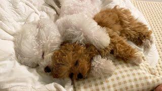 Los lindos hábitos de sueño de Baby Cream Poodle. ❤