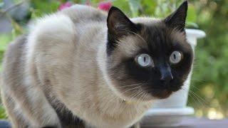 Уход и Содержание Сиамской кошки, Породы кошек