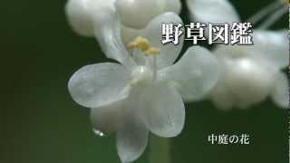 動く野草図鑑79・ヤブミョウガ