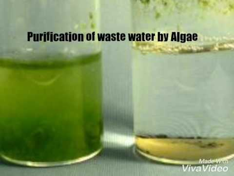 Purification of waste water by Algae