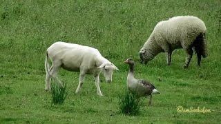 Emden Borssum Seedeich Gans & Schafe Weiden Goose & Sheep Grazing