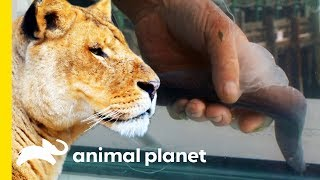 Why Do Only Lionesses Hunt, And What Makes Hagfish So Gross?   How Do Animals Do That?