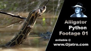 Alligator Attacks Python Stock Footage 01