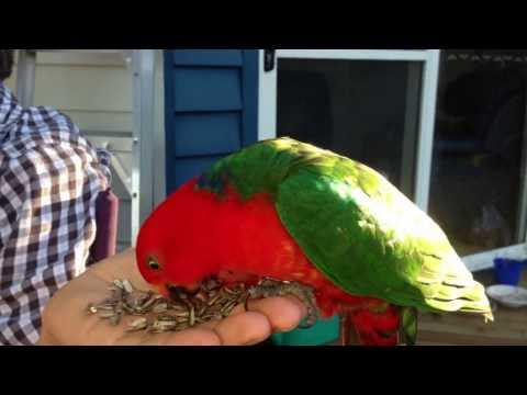 TPP TS #10 King Parrot's Seeds 4 Supper