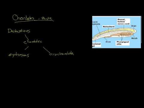 Biology - Chordates The Basics