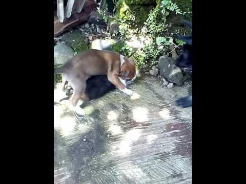 Anjing Kampung Usia 1 Bulan Youtube