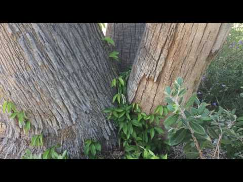 How to grow Tangerine Beauty Cross Vine