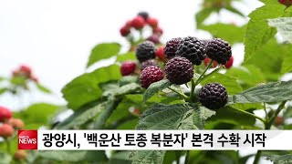 광양시, ′백운산 토종 복분자′ 본격 수확 시작