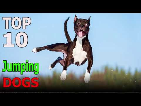 Top 10 Highest Jumping Dog Breeds | Top 10 animals