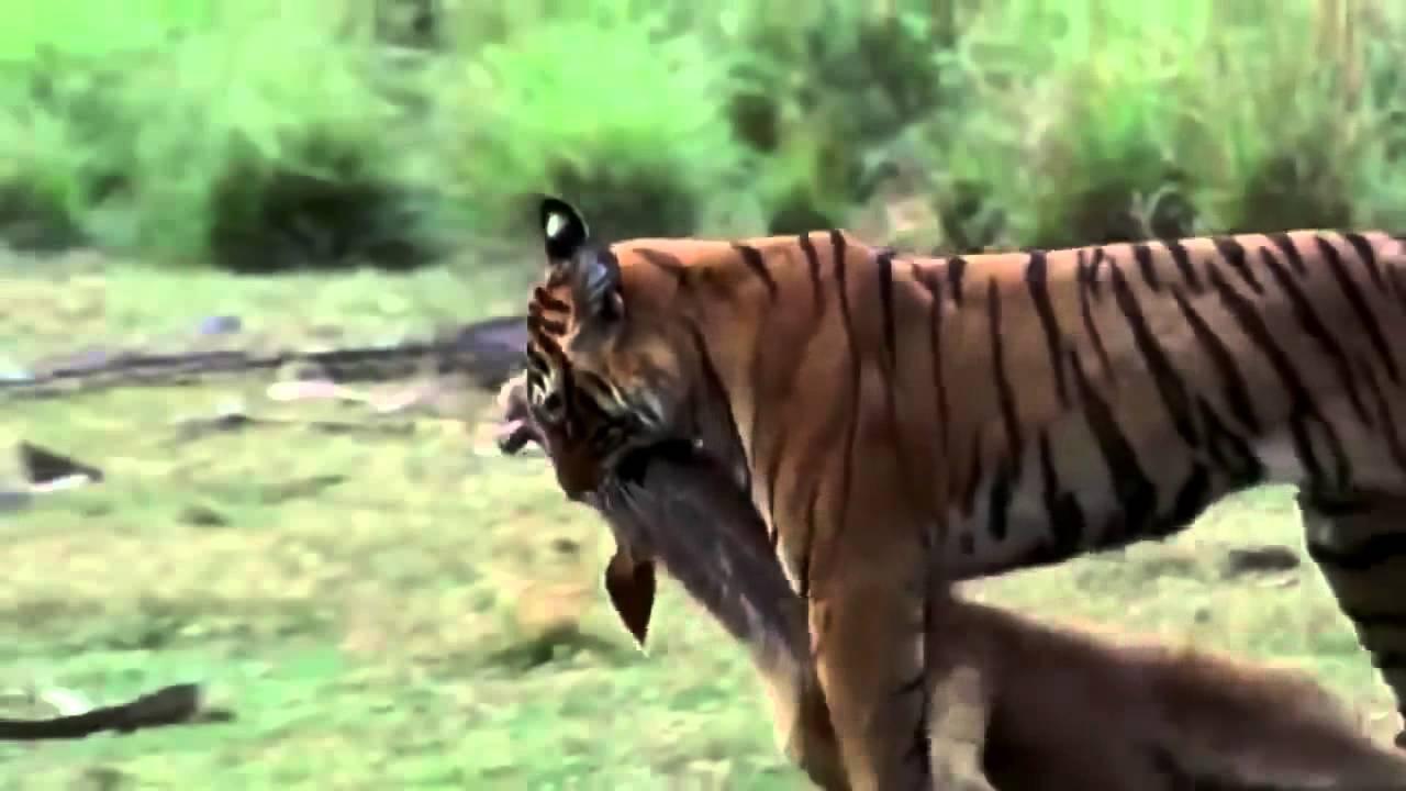 Como Cazan Los Tigres A Sus Presas Videos Asombrosos Youtube