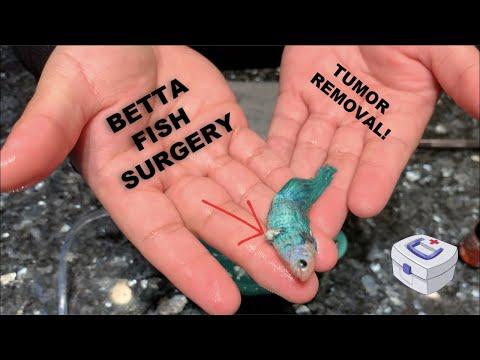 Betta Fish Surgery | Fish Tumor Removal | Nenimals