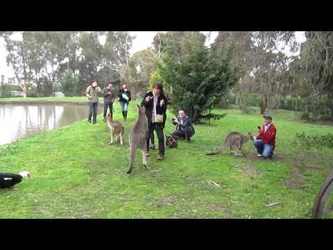 Kangaroo Attacks Tourist