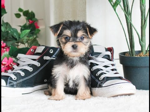 Cutest Morkie Puppies for Sale in Los Angeles, CA!  Maybe even US!