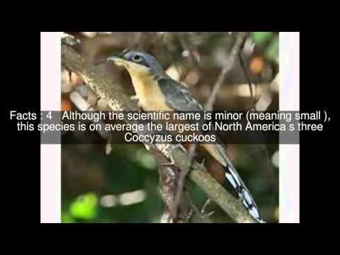Mangrove cuckoo Top  #6 Facts