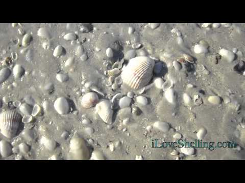 Tiny Sanibel Sand Dollars