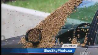 20,000 Bees Swarm Saanich Street