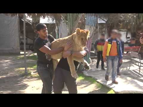Brutal removal of a young lioness' claws in Gaza | FOUR PAWS | www.four-paws.org