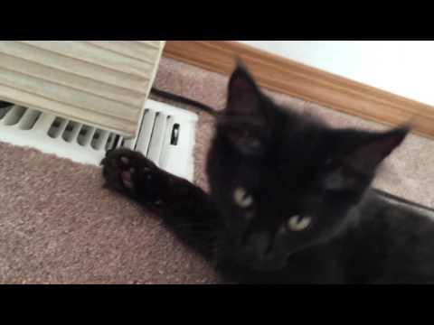 9 week old mainecoon kittens